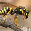 Если укусила оса, пчела, шмель. Первая помощь